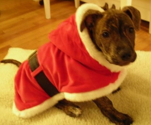 Marukah wins with Chico as Santa in Best Holiday Dog Pictures Winner 2006